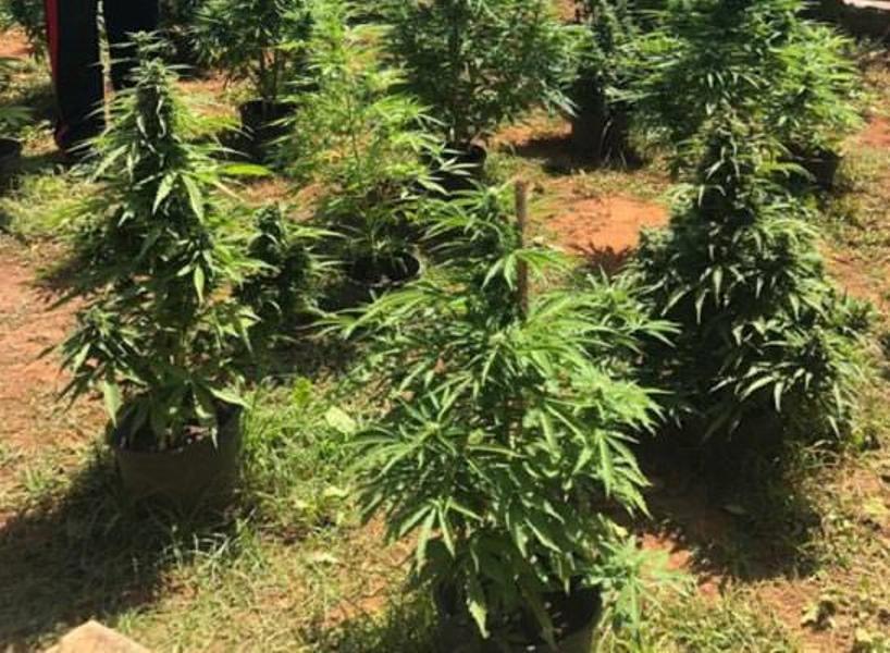 Scoperta una piantagione. Produzione e detenzione illecita di marijuana. Rinvenute 9 piante