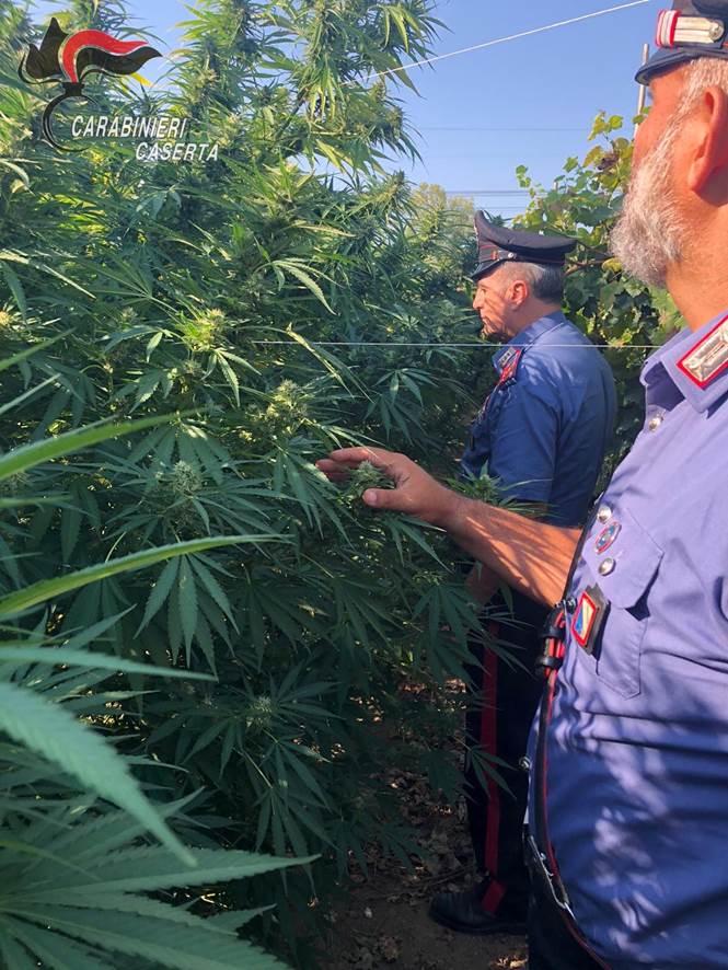 Piantagione di marijuana mimetizzata in un vigneto. Carabinieri sequestrano 86 piante